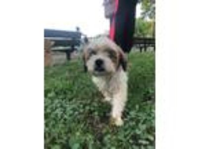 Adopt Hughbert a Red/Golden/Orange/Chestnut - with White Shih Tzu / Mixed dog in