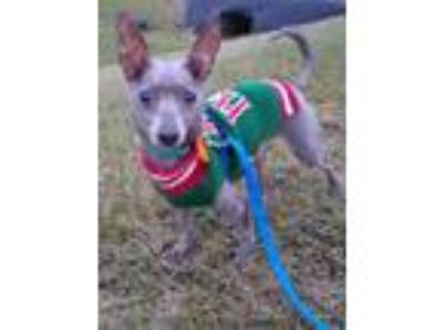 Adopt Bert a Italian Greyhound
