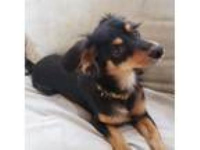 Adopt Mike a Black Dachshund / Terrier (Unknown Type, Medium) / Mixed dog in San