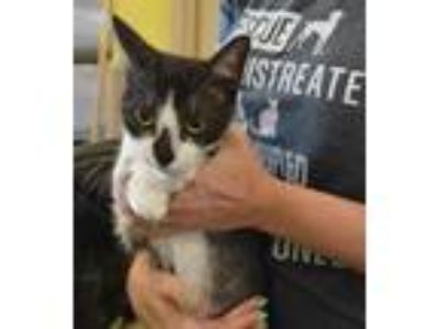 Adopt Lola a White Domestic Shorthair / Mixed cat in Rockwall, TX (25919064)
