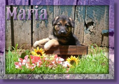 Maria Female German Shepherd