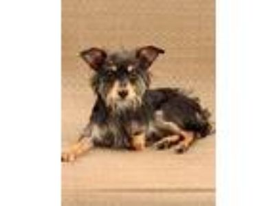 Adopt Ciao a Black - with Tan, Yellow or Fawn Terrier (Unknown Type