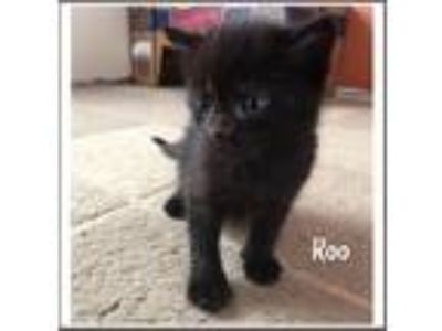 Adopt Roo a All Black Domestic Shorthair (short coat) cat in Toms River