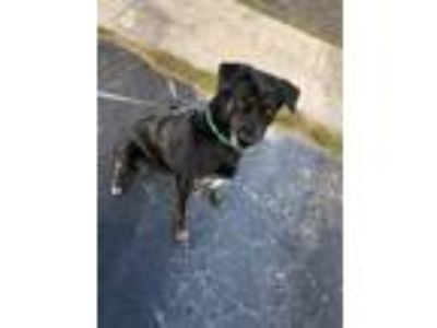 Adopt Onyxia a Black - with White Labrador Retriever / Miniature Pinscher /