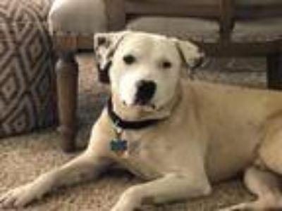 Adopt Sampson a American Staffordshire Terrier