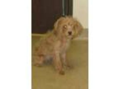 Adopt Belle a Tan/Yellow/Fawn Schnauzer (Miniature) / Poodle (Miniature) / Mixed
