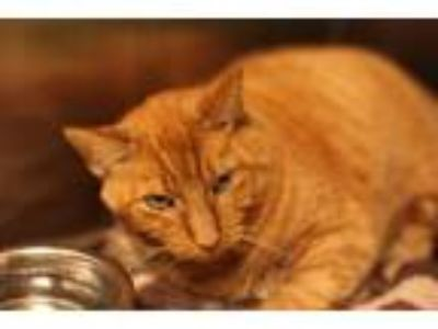 Adopt Gonzo a Domestic Short Hair