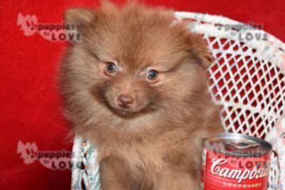 Pomeranian PUPPY FOR SALE ADN-101030 - AKC TOY FULL REGISTRATION