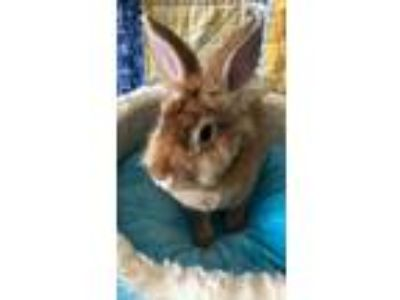 Adopt Penny a Tan Lionhead / Mixed rabbit in Staten Island, NY (25589896)