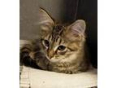 Adopt MIKO (was NELSON) a Domestic Mediumhair / Mixed (short coat) cat in