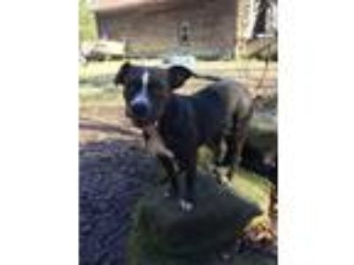Adopt Nyla a Gray/Silver/Salt & Pepper - with White Pit Bull Terrier / Mixed dog