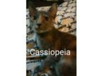 Adopt Cassiopeia a Calico or Dilute Calico Domestic Shorthair (short coat) cat
