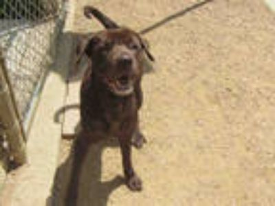 Adopt LATTE a Brown/Chocolate Labrador Retriever / Mixed dog in Plano