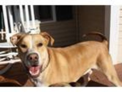 Adopt Gage a Tan/Yellow/Fawn - with White Hound (Unknown Type) / Great Dane /