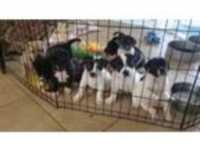 Adopt BETHANY'S LAB MIX PUPPIES! 3 F/5 M READY 5/31 *SEE DNA!