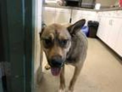 Adopt WILEY a Brown/Chocolate - with Black German Shepherd Dog / Mixed dog in