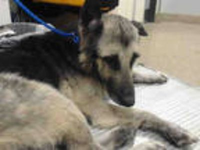 Adopt SAMPSON a Black - with Tan, Yellow or Fawn German Shepherd Dog / Mixed dog