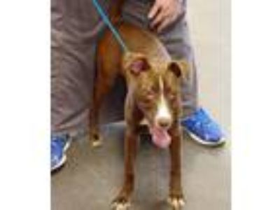 Adopt Chocolate a Pit Bull Terrier, Husky