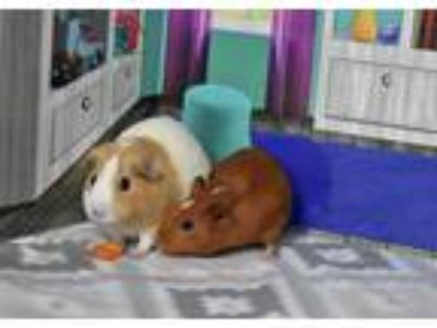 Adopt Coco and Luna a Guinea Pig (short coat) small animal in Pine Bush