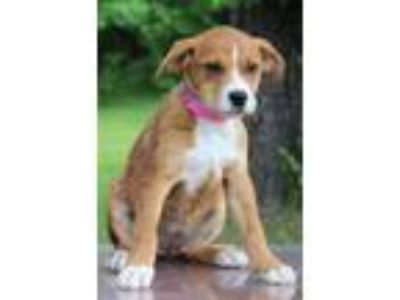 Adopt Pudding a Red/Golden/Orange/Chestnut - with White Catahoula Leopard Dog /
