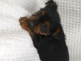 Yorkshire Terrier PUPPY FOR SALE ADN-76018 - Yorkie Puppies