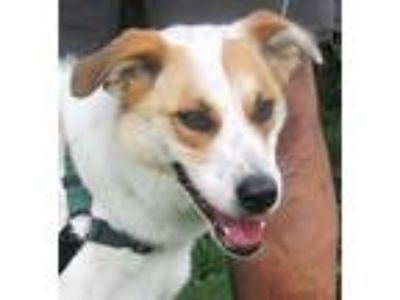 Adopt Bandit a White - with Brown or Chocolate Border Collie / Mixed dog in