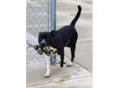 Adopt Oreo a Black - with White American Staffordshire Terrier / Labrador