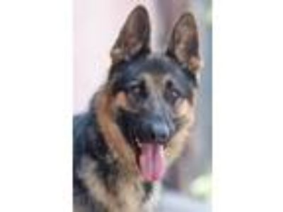 Adopt Tex von Tegau a Black - with Tan, Yellow or Fawn German Shepherd Dog /