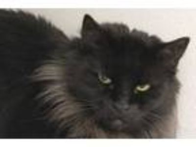 Adopt a Brown or Chocolate Domestic Longhair / Mixed (long coat) cat in Tucson