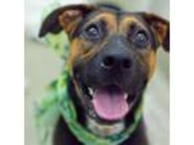 Adopt Cricket a Shepherd, Mixed Breed