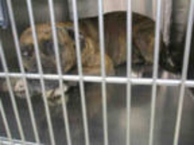 Adopt PENNY a Brindle - with White American Pit Bull Terrier / Mixed dog in
