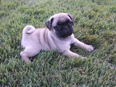 Pug PUPPY FOR SALE ADN-95188 - AKC Pixie M5