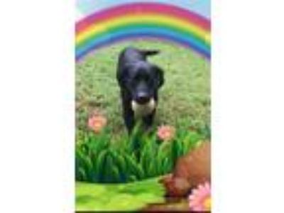 Adopt Puma a Black Labrador Retriever