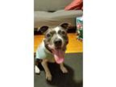 Adopt PRINCESS a American Staffordshire Terrier, Terrier