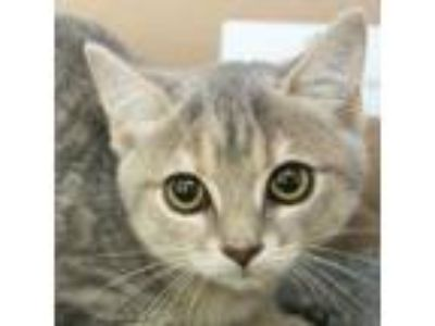 Adopt Frances a Gray, Blue or Silver Tabby American Shorthair cat in Richmond