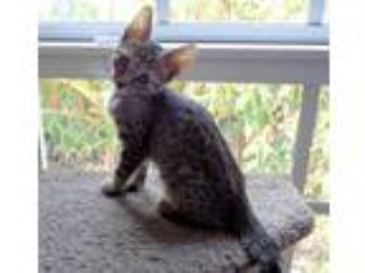 Adopt BRAVO a Brown or Chocolate (Mostly) Domestic Shorthair / Mixed (short