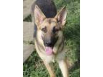 Adopt Heidi a German Shepherd Dog