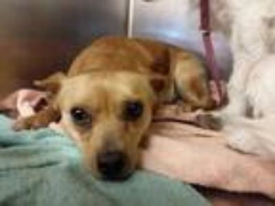 Adopt Yankee a Brown/Chocolate Terrier (Unknown Type, Small) / Mixed dog in