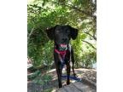 Adopt Diane a Black Labrador Retriever / Hound (Unknown Type) / Mixed dog in
