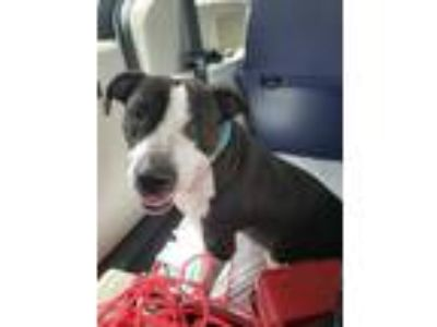 Adopt Luna a Black - with White American Staffordshire Terrier / Mixed dog in
