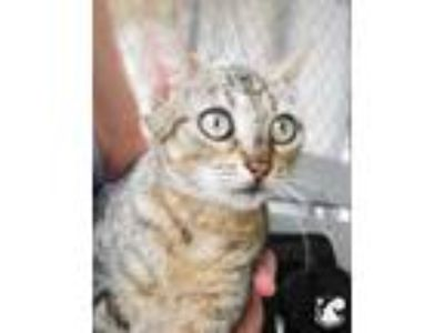 Adopt Melony a Gray or Blue Domestic Shorthair / Domestic Shorthair / Mixed cat