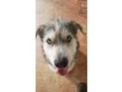Adopt Pierce a Standard Schnauzer / Husky / Mixed dog in Houston, TX (25607340)