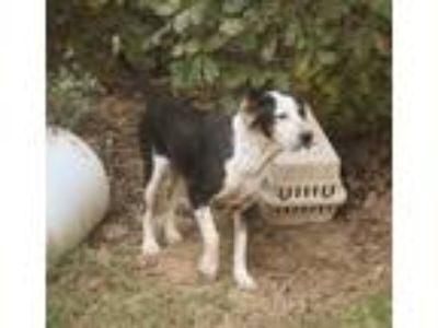 Adopt Lolly Pop a Black - with White Coonhound / Pointer / Mixed dog in