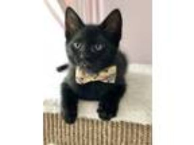 Adopt Lucky a All Black Domestic Shorthair (short coat) cat in Duluth