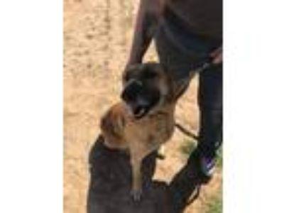 Adopt Hoss a Tan/Yellow/Fawn German Shepherd Dog dog in Paradise, TX (24844120)