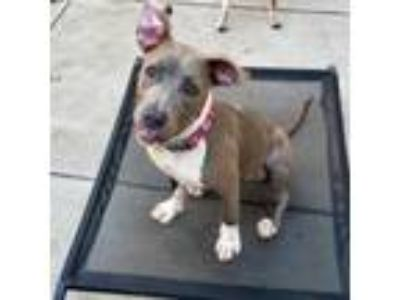 Adopt Lettie a American Staffordshire Terrier, Pit Bull Terrier
