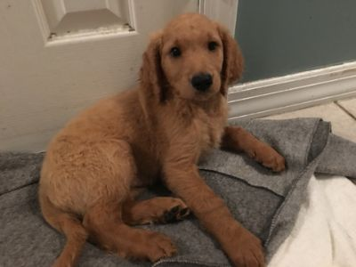 Goldendoodle PUPPY FOR SALE ADN-96478 - Goldendoodle Puppies Ready for their Forever Homes