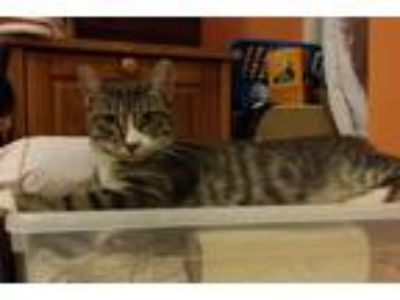 Adopt Nina a Gray, Blue or Silver Tabby Domestic Shorthair (short coat) cat in