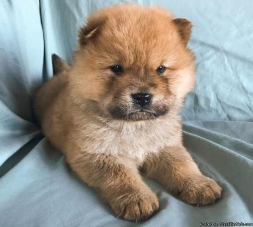 ghhdgh Chow Chow Puppies Ready for sale
