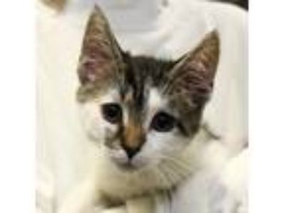 Adopt Butterscotch a White Domestic Shorthair / Domestic Shorthair / Mixed cat